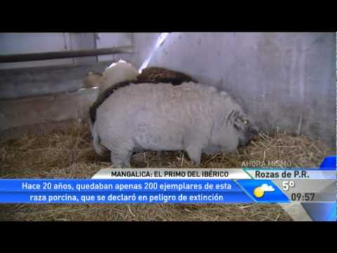 ¿Conoces al cerdo-oveja  - YouTube 9592408f65a0