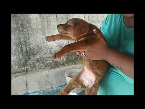 Mourning song for Indian dogs in Bengali.