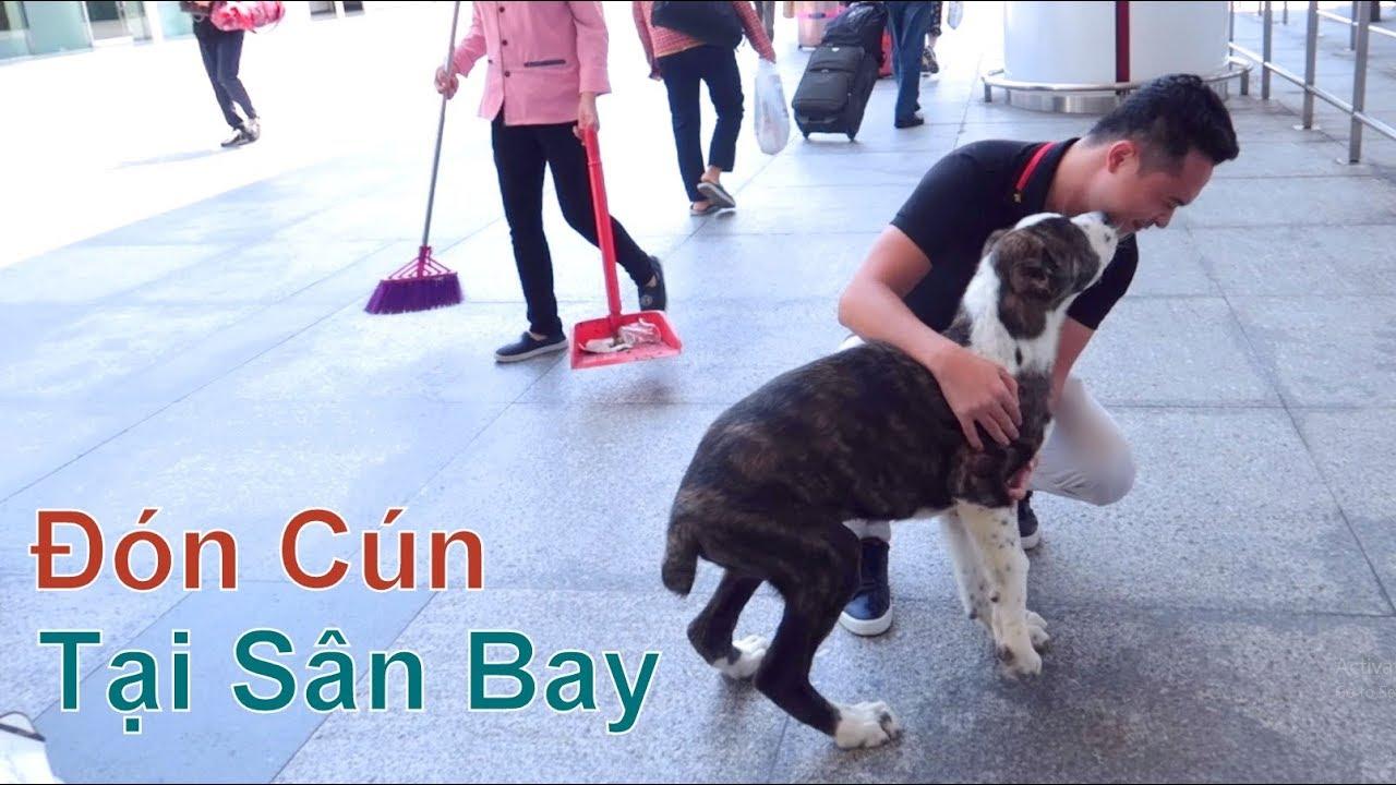(3): Đón Cún Con từ Israel về Việt Nam – tại Sân Bay Nội Bài/ Chó Alabai/ NhamTuatTV