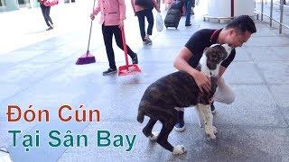 (3): Đón Cún Con từ Israel về Việt Nam - tại Sân Bay Nội Bài/ Chó Alabai/ NhamTuatTV