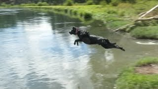 Black Labrador Retriever Getting A Little Hang Time