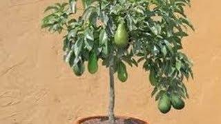 видео Как  вырастить авокадо из косточки в домашних условиях чтобы были плоды