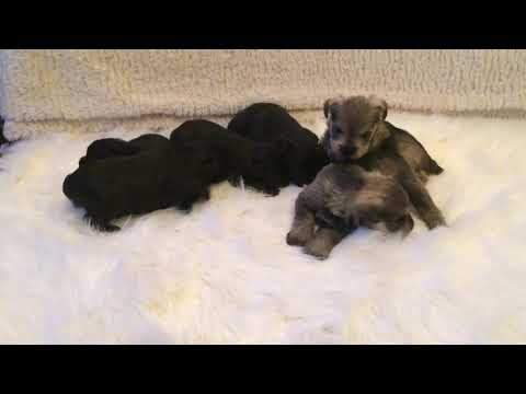 Learning to walk - check out these TINY Mini Schnauzer puppies!