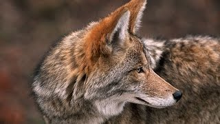 Coyote, The Ultimate Survivor Nature Documentary