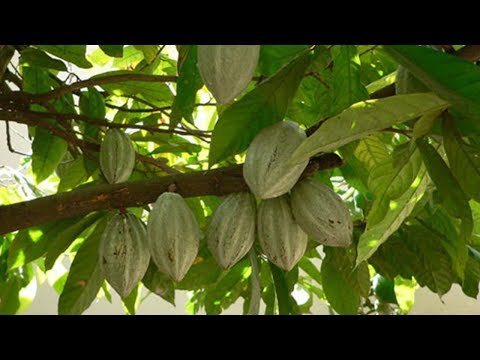 Chocolate love spurs cocoa farming in Cote D'Ivoire