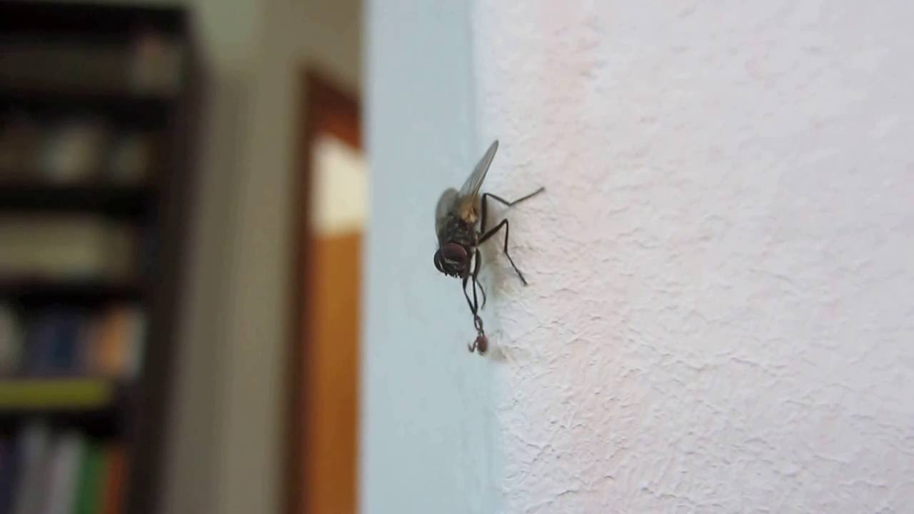 housefly tries to get rid of pseudoscorpion youtube