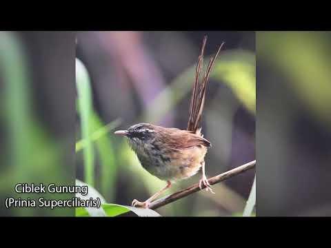 Burung Asli Ciblek Gunung untuk Pancingan Burung Gacor Kembali Suara Asli Ciblek Gunung