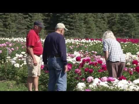 Alaska's Growing Peony Industry