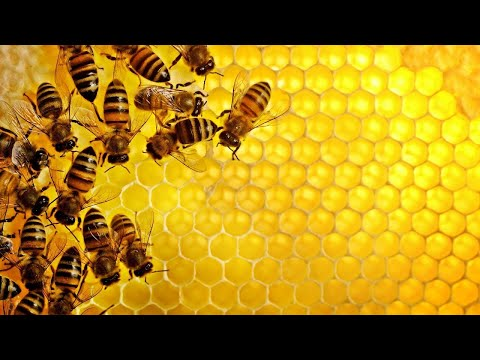 Wild Animals in the world - Honey Bee - Documentary HD