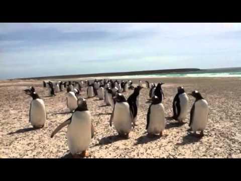 Penguins in Falklands islands