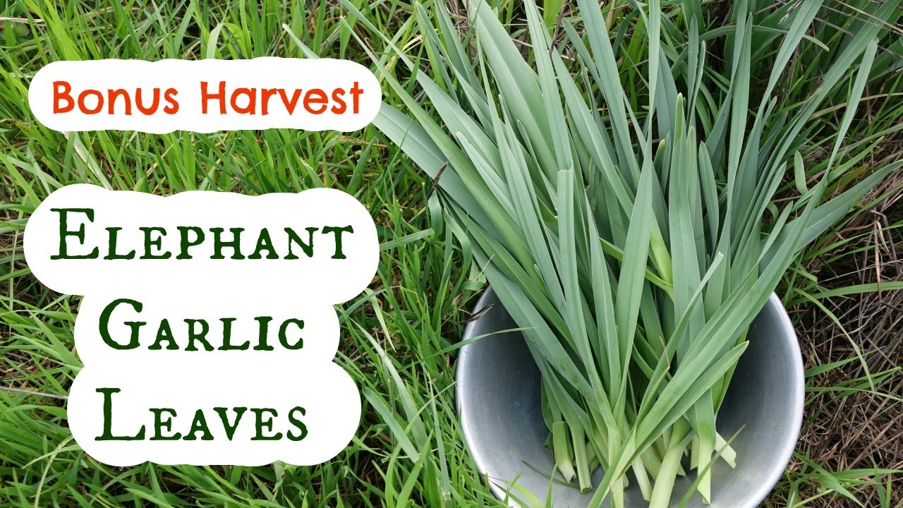 how to use elephant garlic leaves