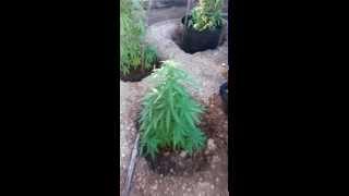 weed pland aruba sa kaba nada nan sa