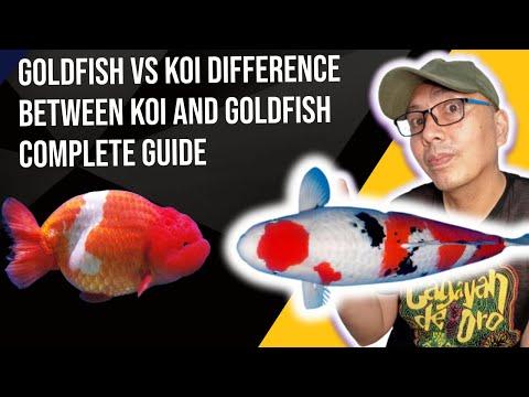 Koi fish Vs Goldfish (Anong pinagka-iba)