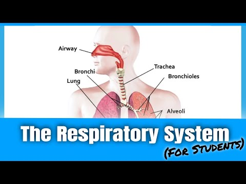 Learn the Respiratory System & Pathway of Oxygen   PE Buddy