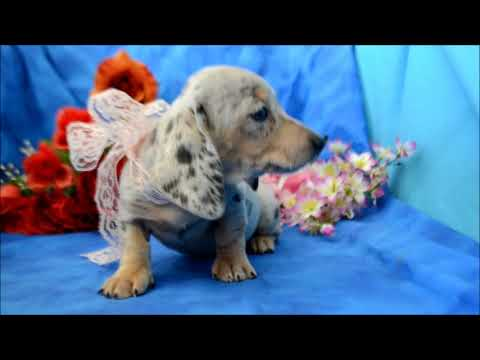 Miniature Dachshund Puppies for sale ** 719-306-8118**