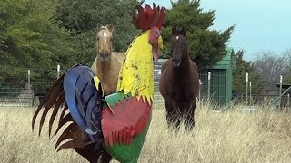 Scaring Horses In Pasture With A Giant Texas Size Rooster Part 2 - How To Abuse Your Horses