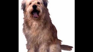 Bearded Collie (owning & Training A Bearded Collie)