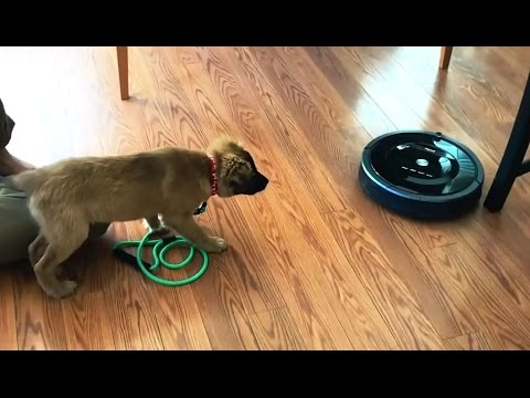 Dogs vs. Roombas Compilation