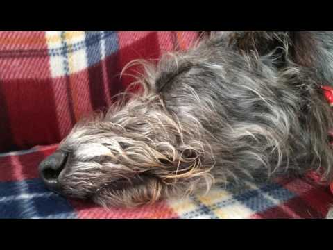 Harris the Deerhound huffing and puffing