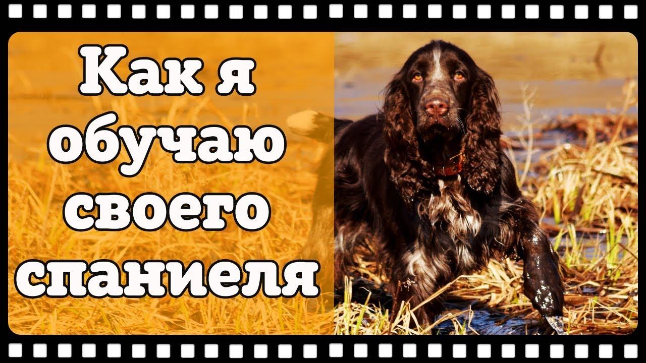 Охотничьи собаки #2. Охота с собакой. Обучение и воспитание русского охотничьего спаниеля.