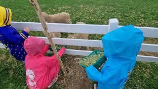 농장체험 젖소 우유주기 젖짜기 구블리 용인 농도원 목장…