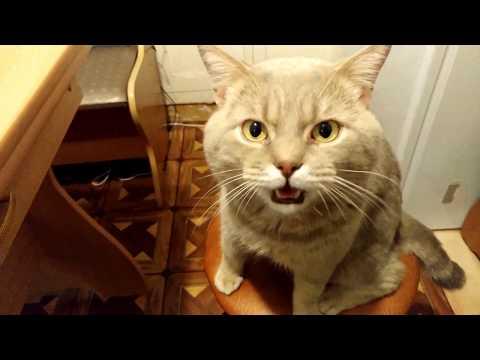 Кот говорит голова болит