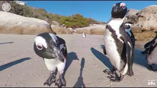 360 VR Penguins in South Africa