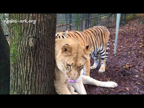 Liberty, lion, and Tiger Lily being sweet - Noah's Ark Animal Sanctuary