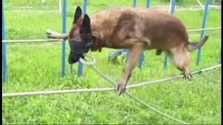Невероятно!Собака идет по канатам с завязанными глазами!