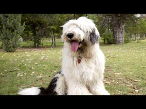 Old English Sheepdog Parasite Prevention