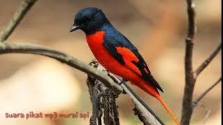 Download lagu Suara pikat mp3 burung murai api ataw matenan sumatra MP3
