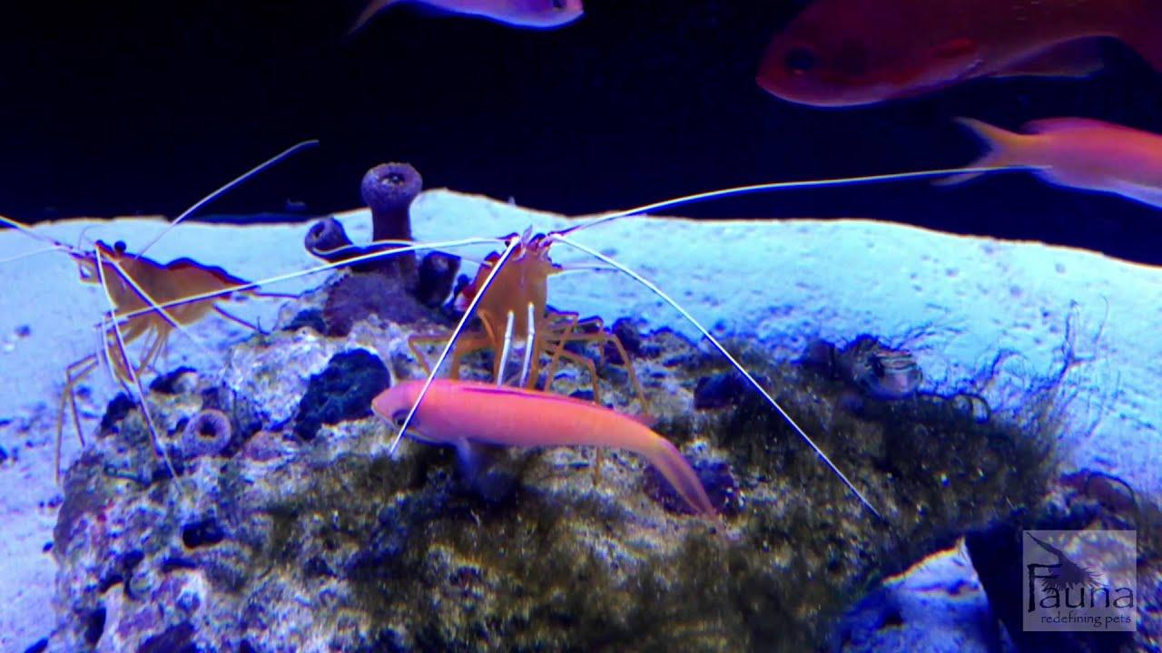 Saltwater aquarium cleaner shrimp and dispar anthias youtube for Fish tank rock cleaner