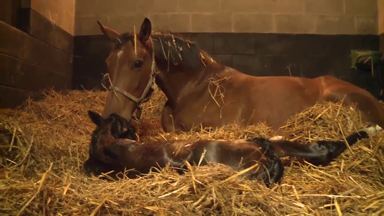 Colostrum et poulain nouveau-né