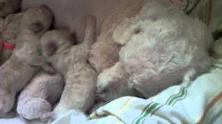 Poodle Puppies 4 Days Old