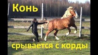 Русский тяжеловоз мерин Огонёк. Первое занятие.