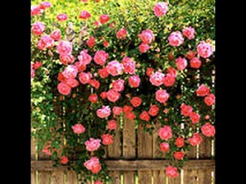 Старая плетистая роза---не так просто выкопать...