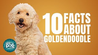 10 Facts About Goldendoodle | Dogs 101  Goldendoodle Dog Breed Information