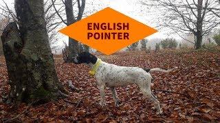 English Pointer