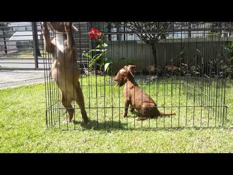puppies pitbull 2 month