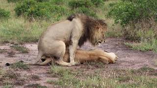 Lions Mate