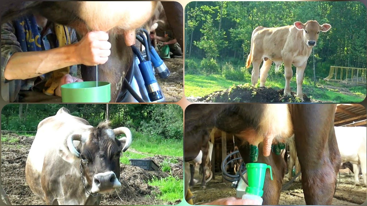 Утренняя дойка коров