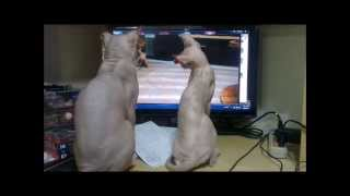 Sphynx cats watching a movie. 無毛貓會看電影