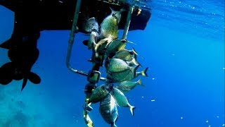 Spearfishing white seabreams from the surface - Επιφανειακό ψαροντούφεκο με καρτέρι για σαργούς!