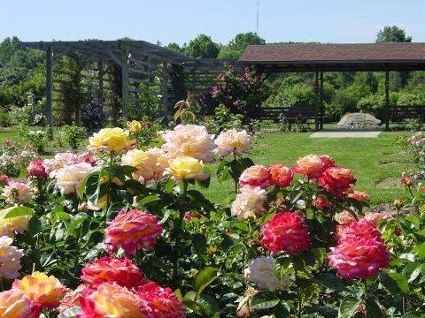 Выращивание роз в открытом грунте. GuberniaTV