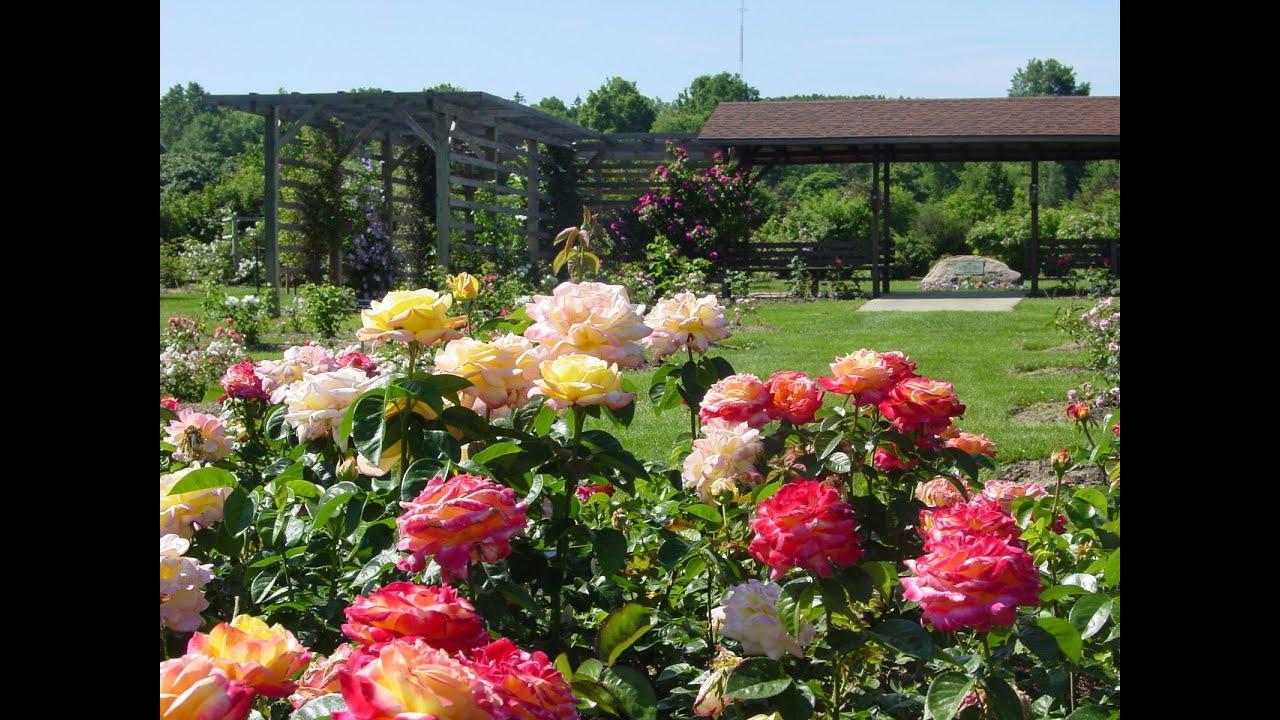Выращивание роз в саду фото