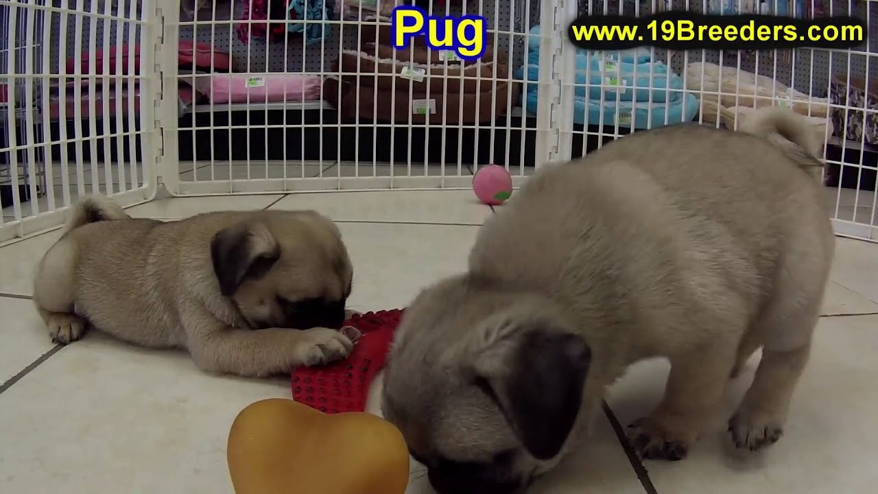pug puppies for sale in alabama pug puppies dogs for sale in montgomery alabama al 1806