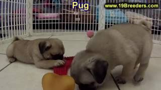 Pug, Puppies , For, Sale, In Staten Island, New York, Ny, Brooklyn, County, Borough
