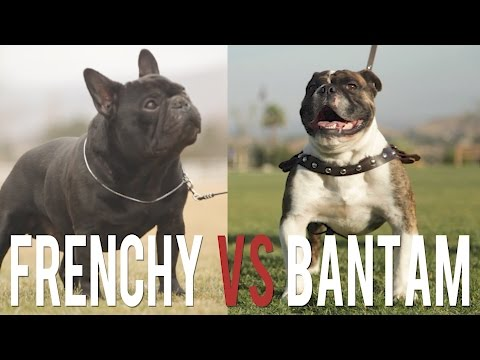 FRENCH BULLDOG VS. BANTAM BULLDOG: BATTLE OF THE TOY BULLDOGS