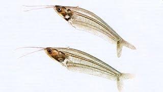 Стеклянный индийский сомик / Cryptopterus bicirrhis - Аквариумные тропические рыбы #23
