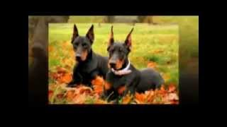 The Doberman Pinscher Is A Breed Of Short-haired Dogs